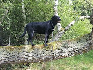 Labrador Nelly