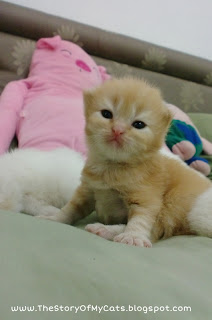 red tabby kitten