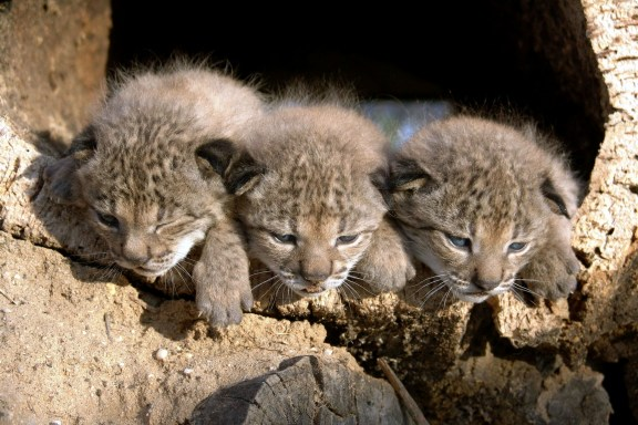 15 cutest endangered animals in the world, iberian lynx cubs