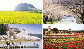jeju cherry blossom in korea