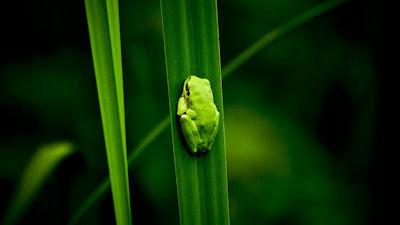 Rana escondida sobre las hojas en espera de su comida