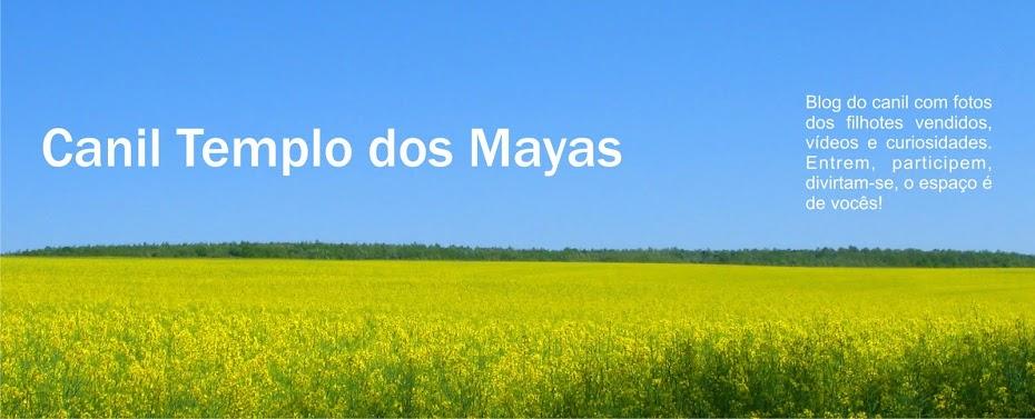 SHIH TZU CORES RARAS CANIL TEMPLO DOS MAYAS
