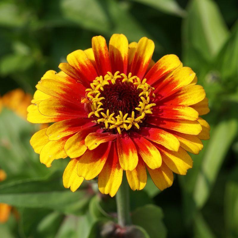 Майорка цветок