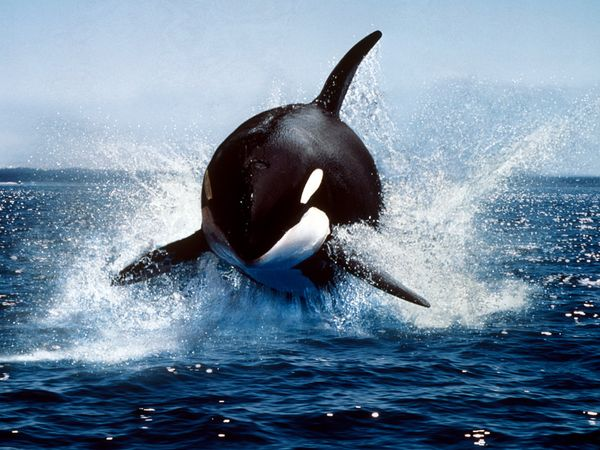 Killer Whale (Orca)