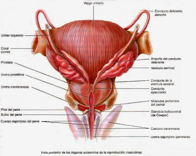 Imagen humana humana femenina en el pene