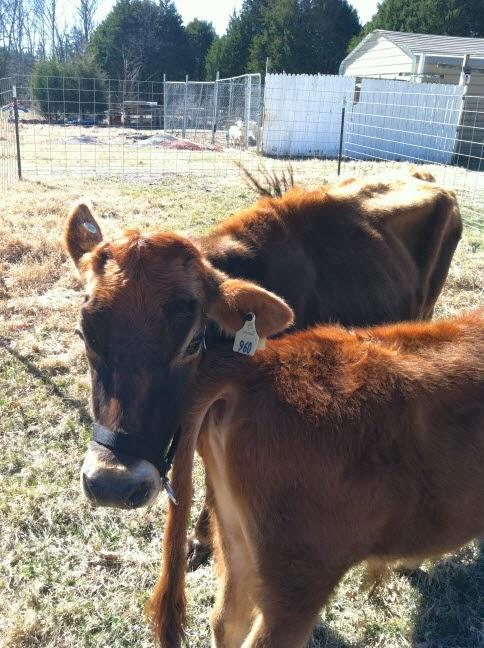 Bridget and Brisket the Jersey cows