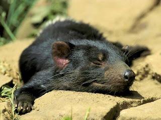 Foto Tasmanian Devils Tidur
