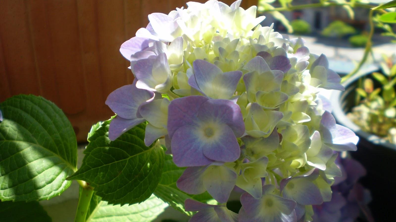 Podar hortensias maceta finest podar hortensias maceta - Como podar la hortensia ...