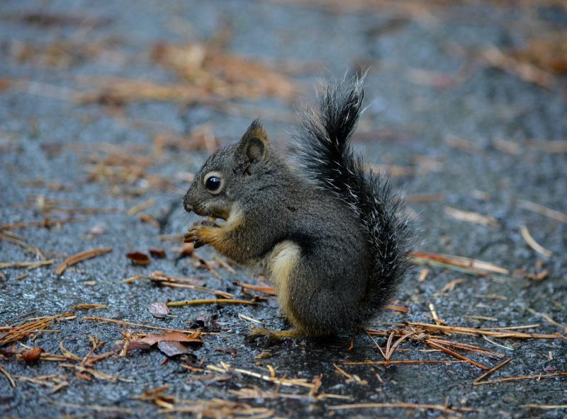 cozy birdhouse | yosemite, douglas squirrel aka chickaree
