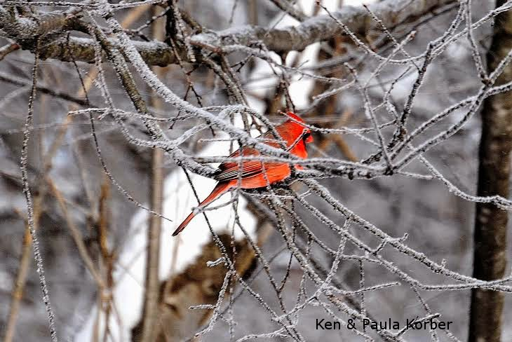 Cardinal on icy branch