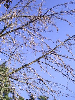 árbol de gingko biloba