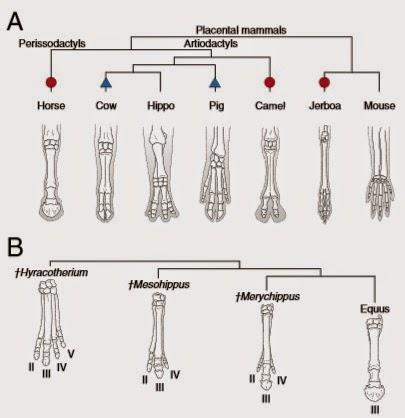 Paleontología y Evolución en la UCM: Evolución de las extremidades ...