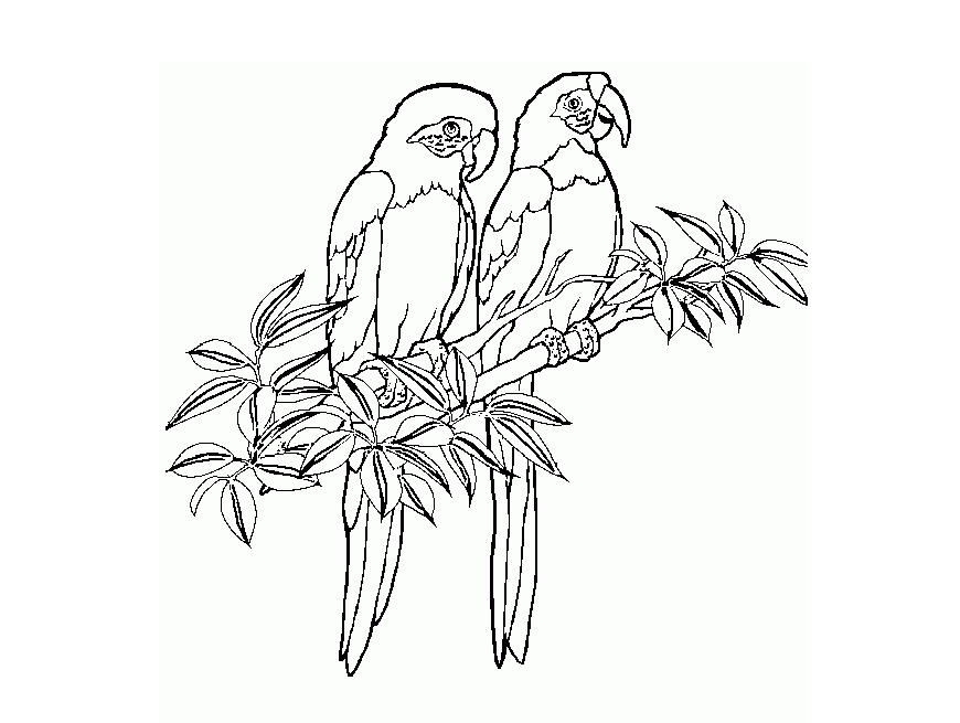 Parrots Coloring Drawing Free wallpaper