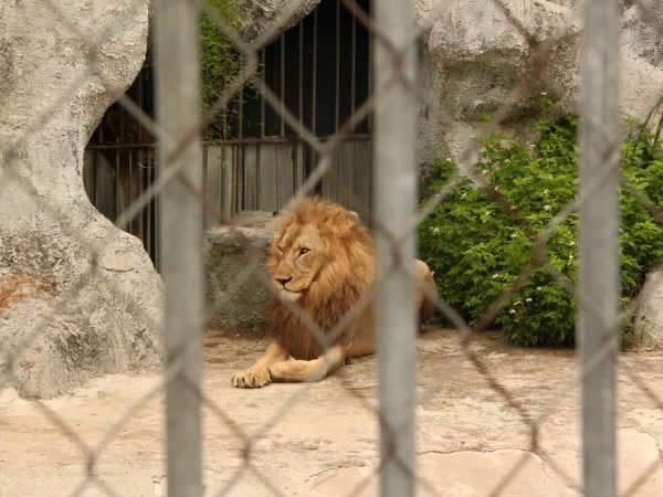 sư tử tại khu du lịch sinh thái trại bò