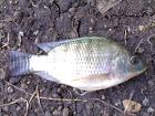 Ikan Mujaer