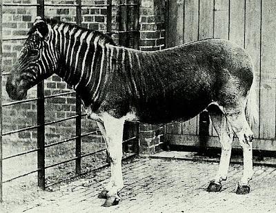 La ünica foto existente de un Cuagga tomada en el Zoológico de Londres.