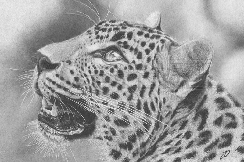 Leopard Pencil Drawings Image Gallery leopard ...
