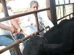 Vacinação das bezerras