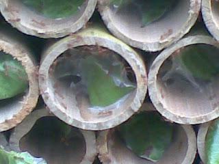 Cara Budidaya Kroto dengan Bambu