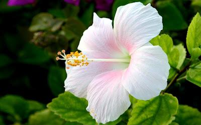 Bunga Raya Bunga Kebangsaan Malaysia
