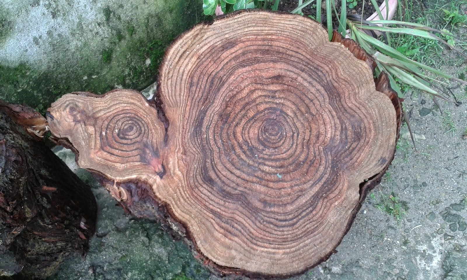 Unique Piece of Pine Wood