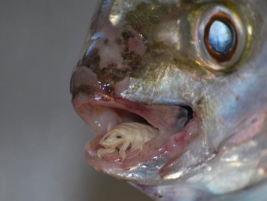 Tongue Eating Parasite [Cymothoa exigua]: Thankfully, this devious creature only attacks fish. By entering through their gills, it grows there before moving ...