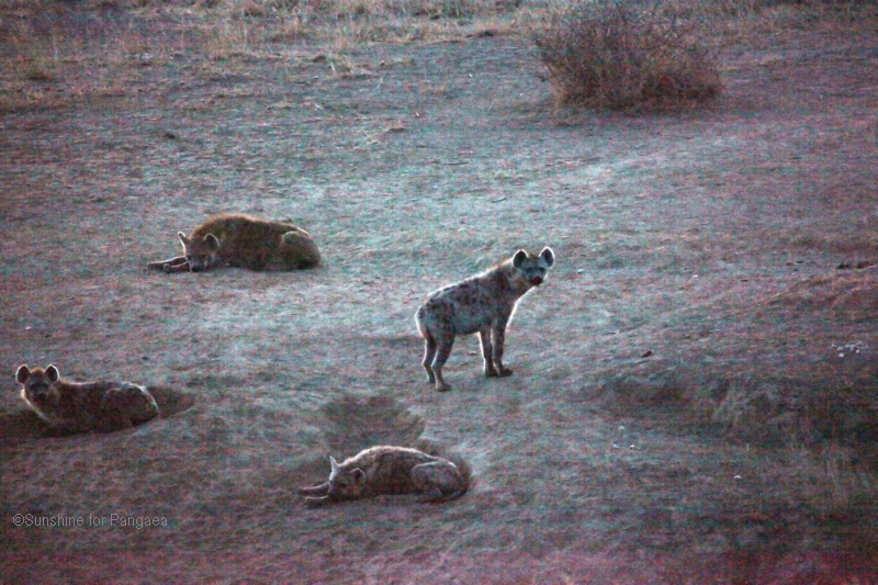 Spotted hyenas in the Awash National Park