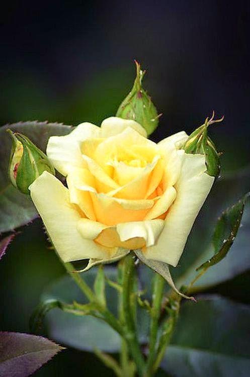 Imagenes de rosas amarillas con frases de amor - Imagenes De Rosas Amarillas Con Frases