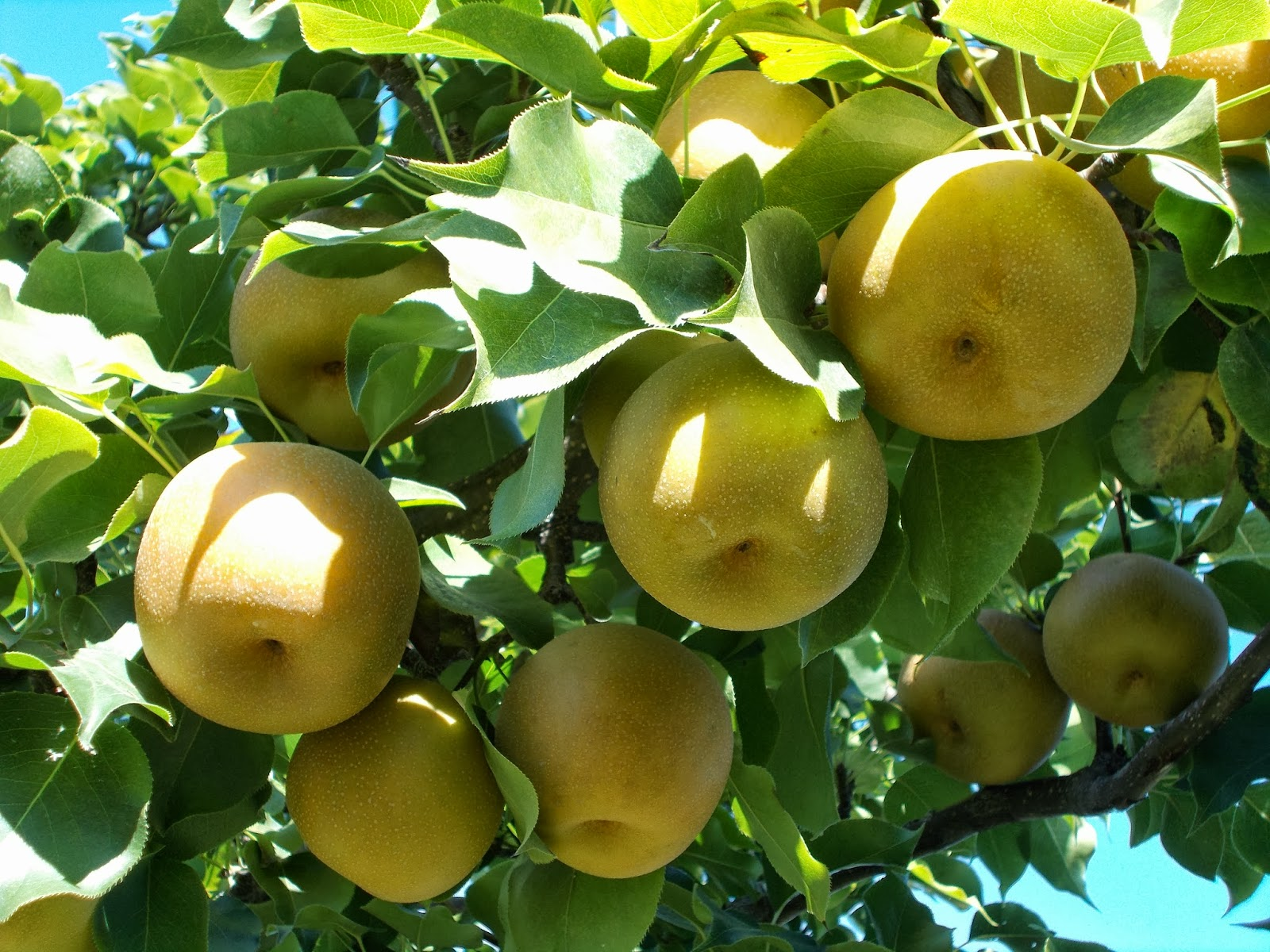 asian peach orchard