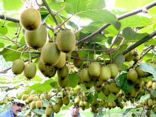 Kiwi Fruit Tree