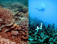 The left side of this photo shows a healthy reef at Heron Island. The right side shows an example of a degraded reef off Townsville after attack from Crown of Thorns and bleaching. (Credit: Ove Hoegh-Guldberg, Global Change Institute at the University of Queensland) Click to Enlarge.
