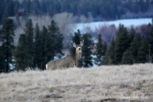 Amazing Deer Washington State |singingwithbirds.com