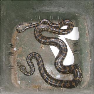 The snake in my recycling bin