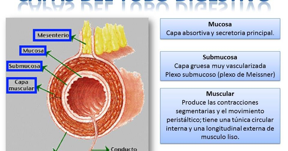 Blog shido de fisiolog a medica tubo digestivo - Pegatinas para la pared ...