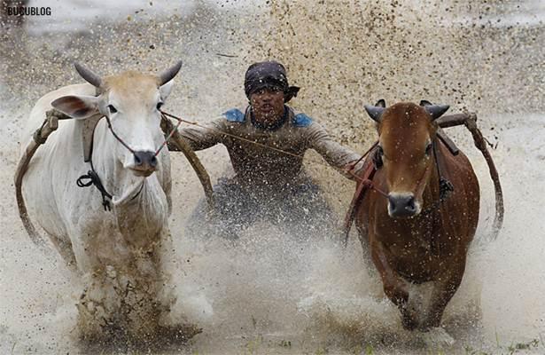 perlumbaan lumba lembu di sawah padi indonesia