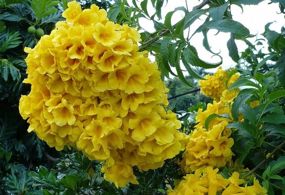 flor de jardim amarela:amarelo de jardim ipê mirim ipêzinho de jardim sinos amarelos
