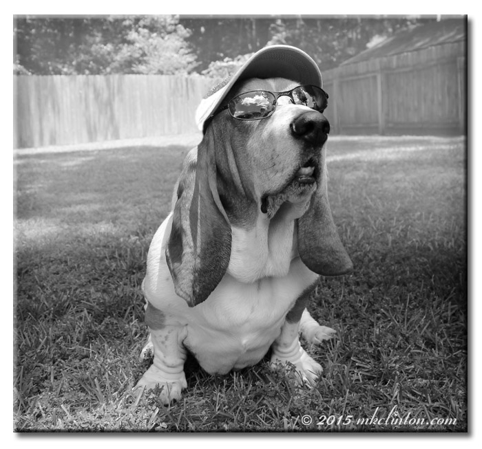 Basset in shades and cap in B & W
