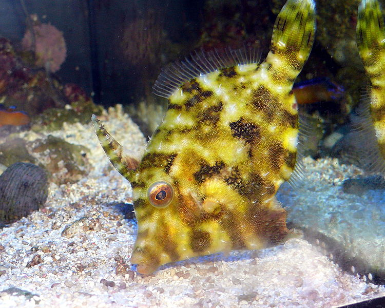 Fish index matted filefish acreichthys tomentosus for Aiptasia eating fish