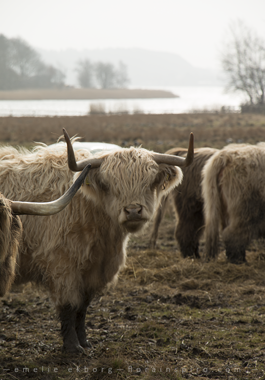 highland cattle sweden, highland cattle, spring walk, spring photos