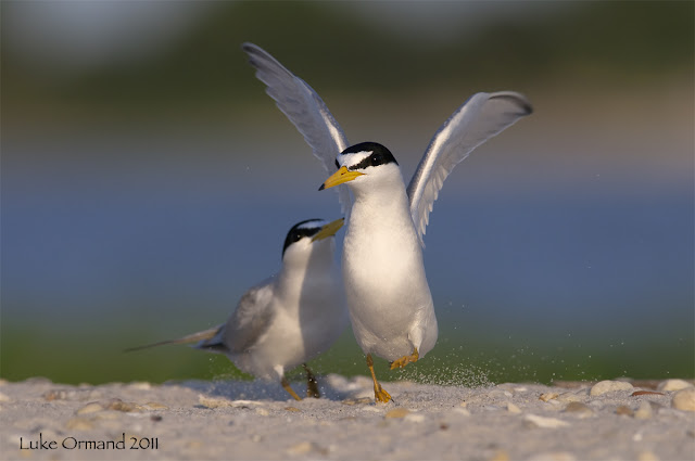 Least Terns Birds Pictures, http://dmjapan.blogspot.com/