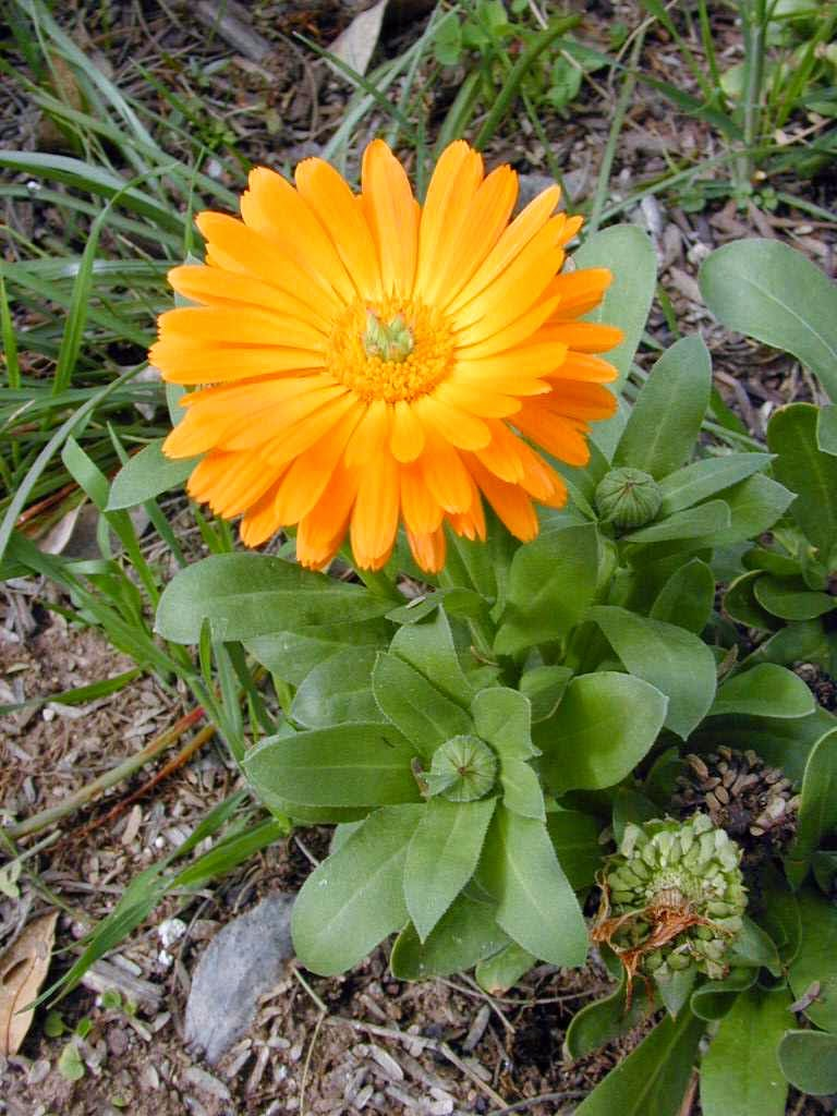 Calendula - the benefits and harm, application and popular recipes 51