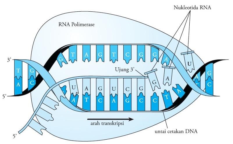 Proses dan tahapan sintesis protein pengertian replikasi tahap elongasi transkripsi ccuart Image collections