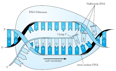 Tahap elongasi transkripsi