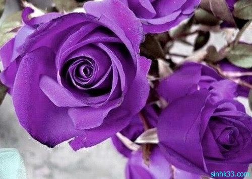 Hình ảnh hoa hồng tím
