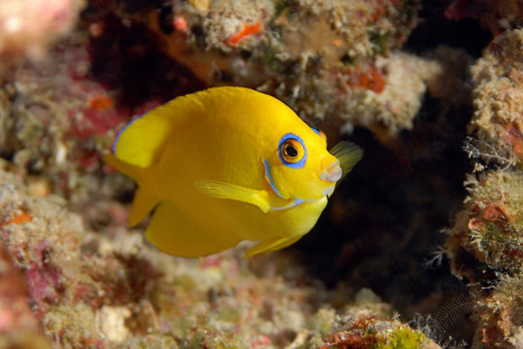 Fish Pictures: Lemonpeel angelfish - Centropyge flavissima