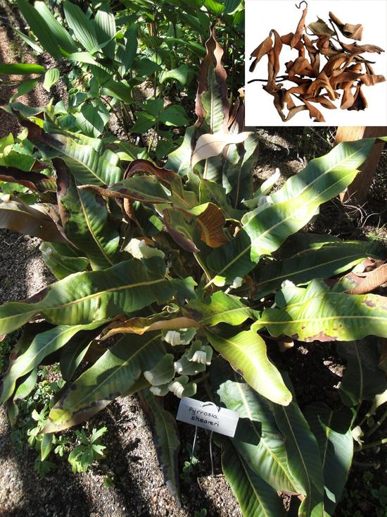 Pyrrosia shearei (Bak.) Ching (Fam. Polypodiaceae)