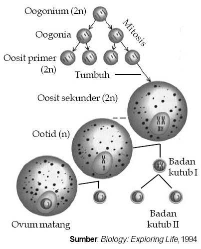 Gambar 1. Oogenesis terjadi di dalam ovarium yang akan menghasilkan ...