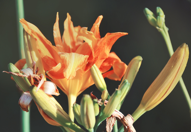 The Flying Clubhouse: June Dreams // daylilies