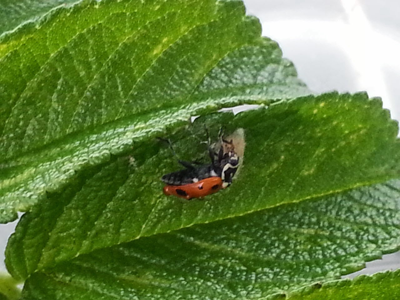 Dinocampus coccinellae larva cocoon and zombified ladybug