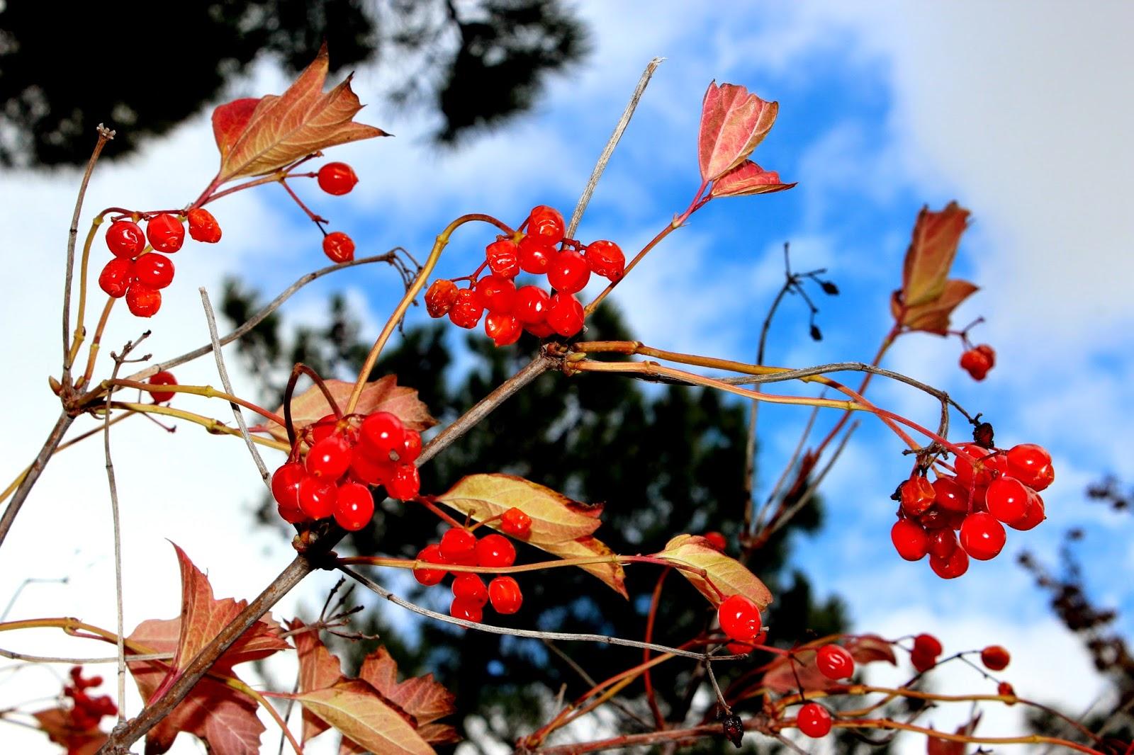 Frutos de otoño en el Arboreto de Luis Ceballos
